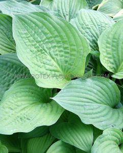 HOSTA FORTUNEI 'HYACINTHINA' I (25 P.OPEN TOP BOX)