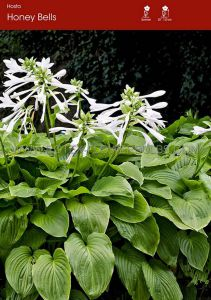 HOSTA 'HONEY BELLS' I (25 P.OPEN TOP BOX)