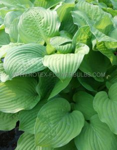 HOSTA HYBRIDA 'AUGUST MOON' I (25 P.BAG)