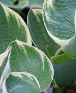 HOSTA HYBRIDA 'BARBARA ANN' I (25 P.BAG)