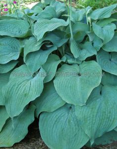 HOSTA HYBRIDA 'BLUE MAMMOTH' I (25 P.BAG)