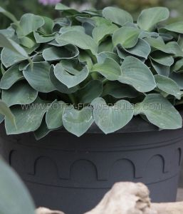 HOSTA HYBRIDA 'BLUE MOUSE EARS' I (25 P.BAG)