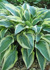 HOSTA HYBRIDA 'BOBCAT' I (25 P.BAG)