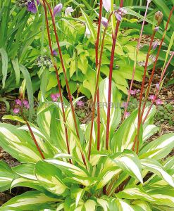 HOSTA HYBRIDA 'CHERRY BERRY' I (25 P.BAG)
