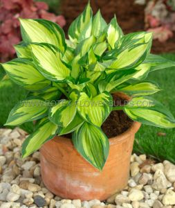 HOSTA HYBRIDA 'COLORED HULK' I (25 P.BAG)