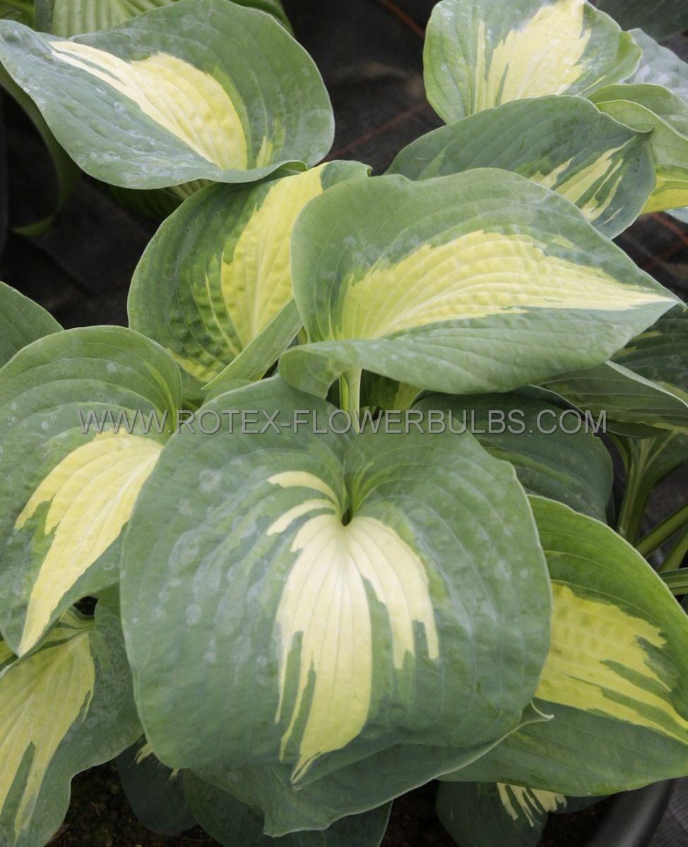 hosta hybrida dream weaver i 25 pbag