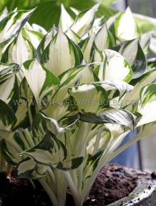 HOSTA HYBRIDA 'FIRE AND ICE' I (25 P.BAG)