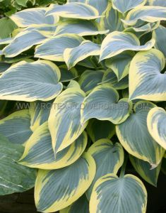 HOSTA HYBRIDA 'FIRST FROST' I (25 P.BAG)