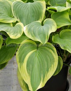 HOSTA HYBRIDA 'FRAGRANT BOUQUET' I (25 P.BAG)