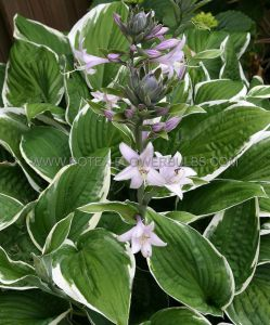HOSTA HYBRIDA 'FRANCEE' I (25 P.OPEN TOP BOX)