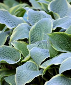HOSTA HYBRIDA 'FROSTED DIMPLES' I (25 P.BAG)