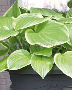 HOSTA HYBRIDA 'FROZEN MARGARITA' I (25 P.BAG)