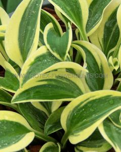 HOSTA HYBRIDA 'FUNNY MOUSE' I (25 P.BAG)