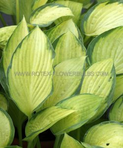 HOSTA HYBRIDA 'GOLD STANDARD' I (25 P.BAG)