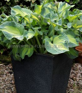 HOSTA HYBRIDA 'GOLDEN MEADOWS' I (25 P.BAG)