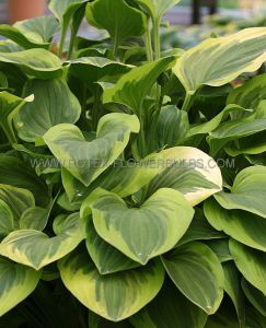 HOSTA HYBRIDA 'GOLDEN TIARA' I (25 P.BAG)