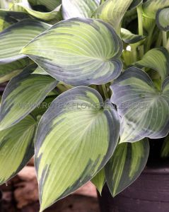HOSTA HYBRIDA 'JUNE' ® I (25 P.BAG)