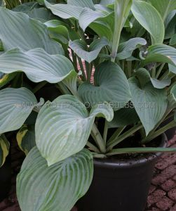 HOSTA HYBRIDA 'KROSSA REGAL' I (25 P.BAG)