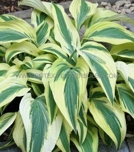 HOSTA HYBRIDA 'LAKESIDE DRAGONFLY' I (25 P.BAG)
