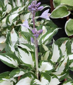 HOSTA HYBRIDA 'LOYALIST' ® I (25 P.BAG)