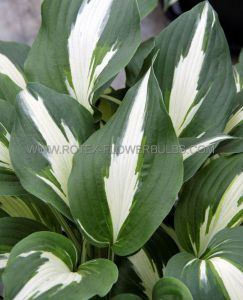 HOSTA HYBRIDA 'NIGHT BEFORE CHRISTMAS' I (25 P.BAG)