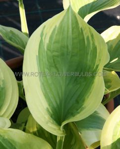 HOSTA HYBRIDA 'OH CINDY' I (25 P.BAG)