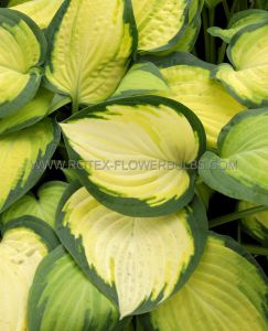HOSTA HYBRIDA 'ORANGE MARMALADE' I (25 P.BAG)