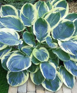 HOSTA HYBRIDA 'ORION'S BELT' I (25 P.BAG)
