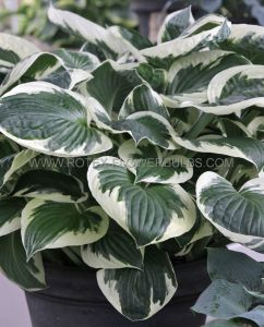HOSTA HYBRIDA 'PATRIOT' I (25 P.BAG)