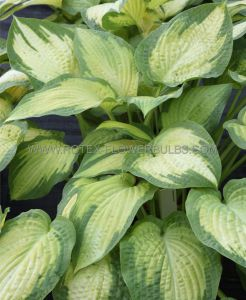 HOSTA HYBRIDA 'PAUL'S GLORY' I (25 P.BAG)