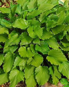 HOSTA HYBRIDA 'PURPLE SENSATION' I (25 P.BAG)