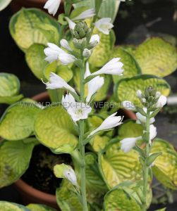 HOSTA HYBRIDA 'RAINFOREST SUNRISE' I (25 P.BAG)