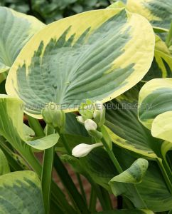 HOSTA HYBRIDA 'SNOW CAP' I (25 P.BAG)