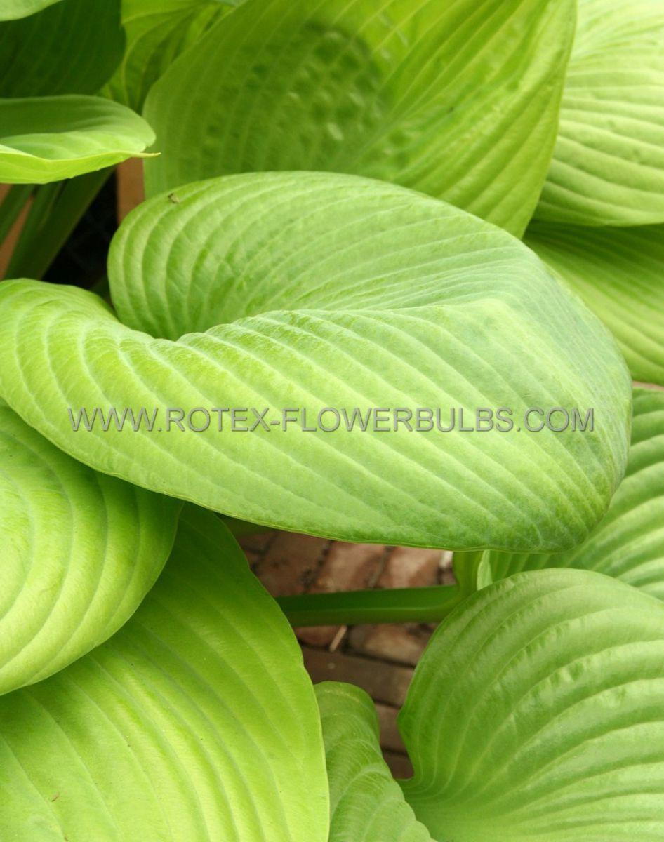 hosta hybrida sum and substance i 25 pbag