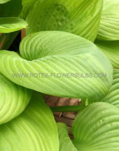 HOSTA HYBRIDA 'SUM AND SUBSTANCE' I (25 P.BAG)