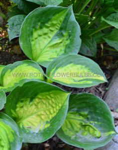 HOSTA HYBRIDA 'SUNSET GROOVES' I (25 P.BAG)