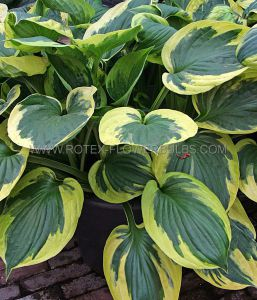 HOSTA HYBRIDA 'TWILIGHT' ® I (25 P.BAG)
