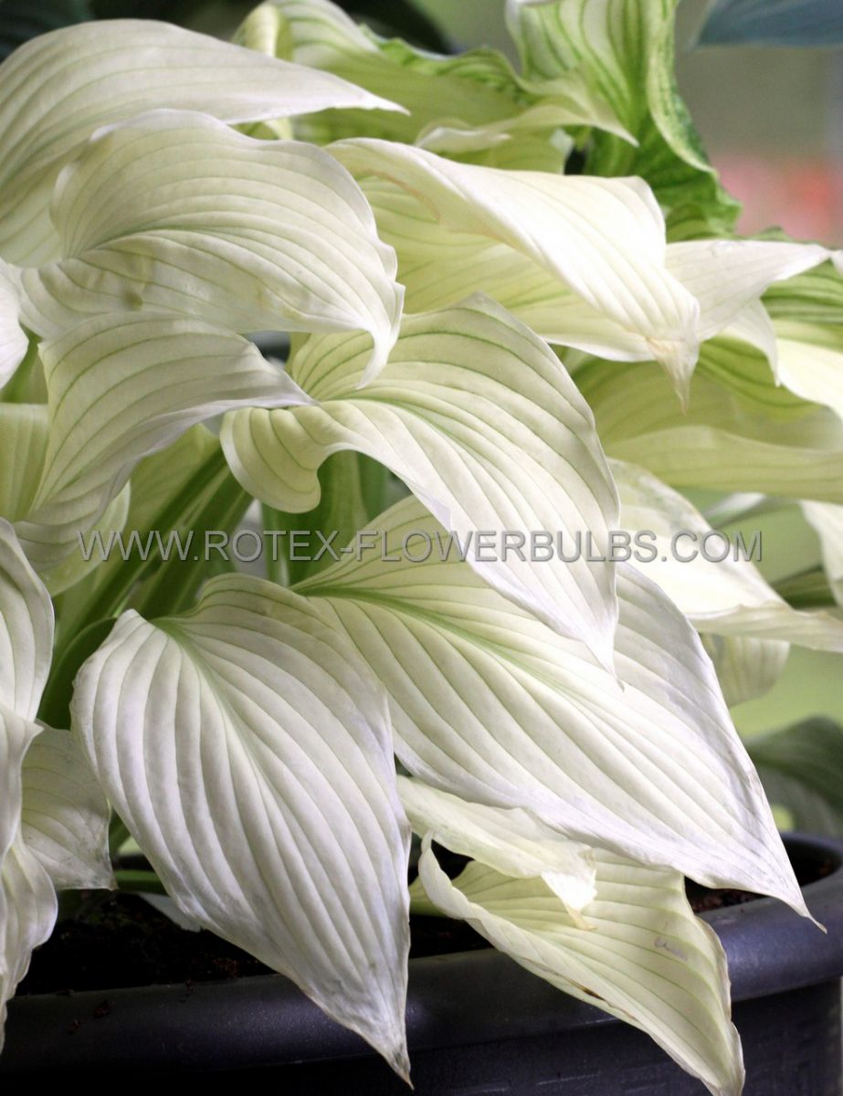hosta hybrida white feather i 25 pbag