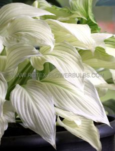 HOSTA HYBRIDA 'WHITE FEATHER' I (25 P.BAG)