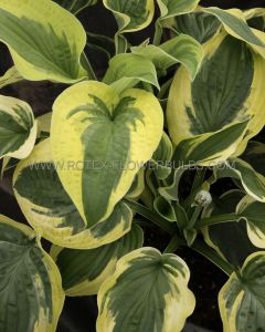 HOSTA HYBRIDA 'WIDE BRIM' I (25 P.BAG)