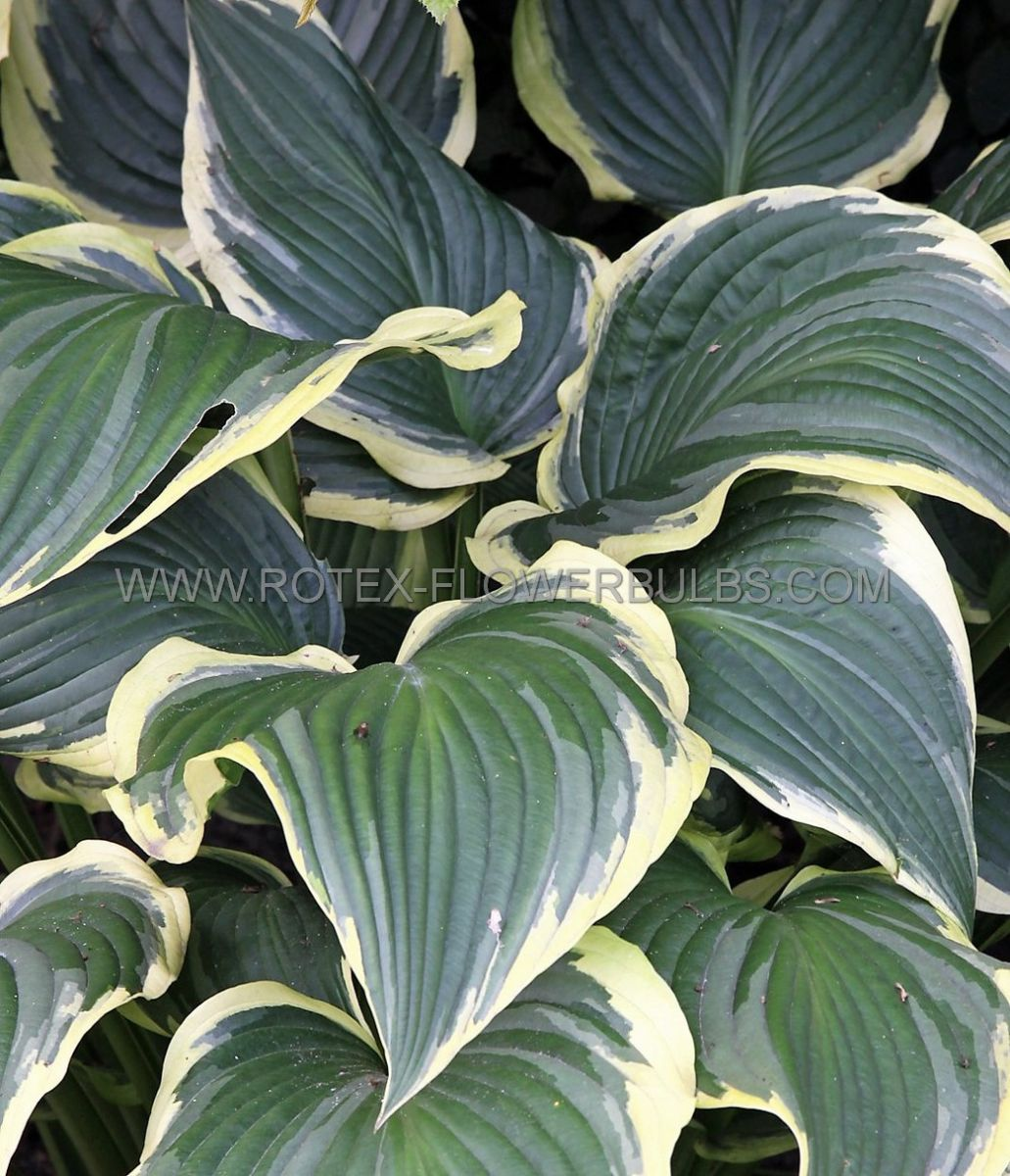 hosta hybrida yellow river i 25 pbag