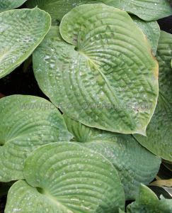 HOSTA SIEBOLDIANA 'ELEGANS' I (25 P.OPEN TOP BOX)