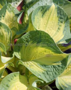 HOSTA SIEBOLDIANA 'GREAT EXPECTATIONS' I (25 P.BAG)