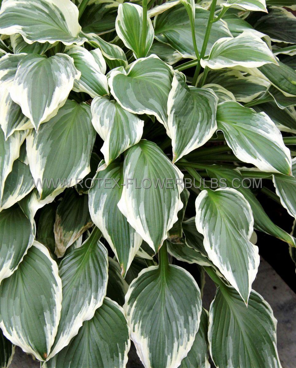 hosta undulata albomarginata i 25 popen top box