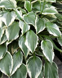 HOSTA UNDULATA 'ALBOMARGINATA' I (25 P.OPEN TOP BOX)