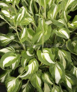 HOSTA UNDULATA 'MEDIOVARIEGATA' I (25 P.OPEN TOP BOX)