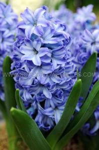 HYACINTHUS ORIENTALIS 'BLUE STAR' 16/17 CM. (50 P.BINBOX)