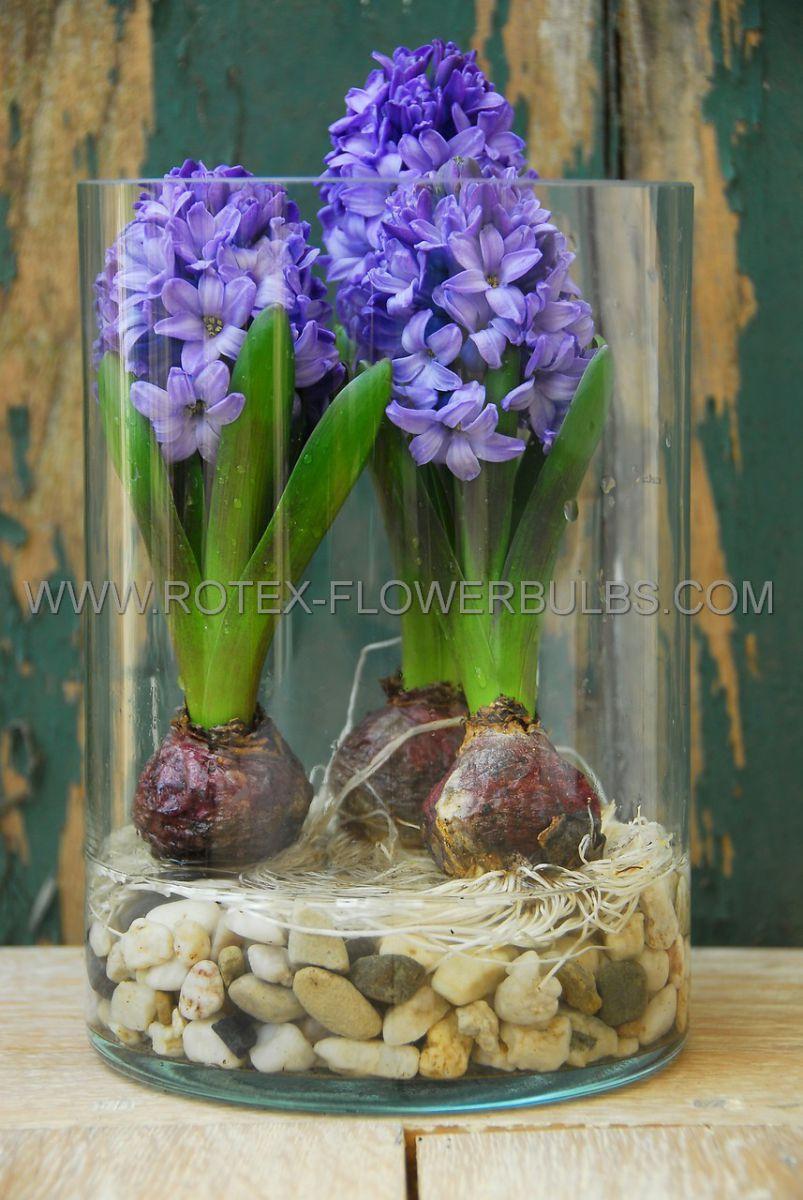 hyacinthus orientalis blue star 1617 cm 50 pbinbox