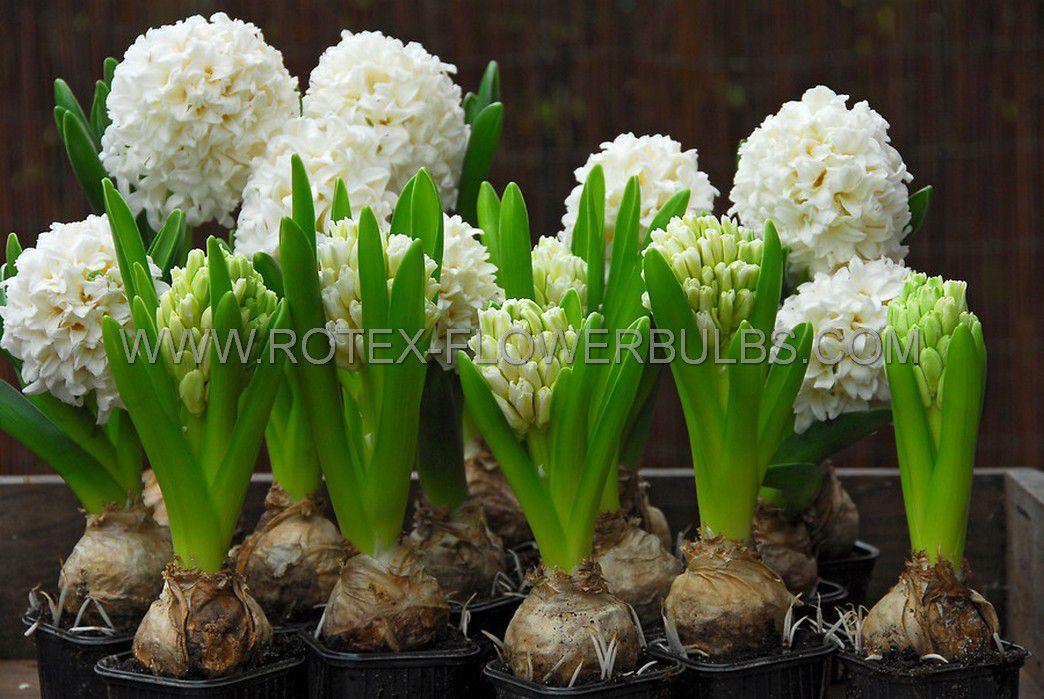 hyacinthus orientalis carnegie 1617 cm 50 pbinbox