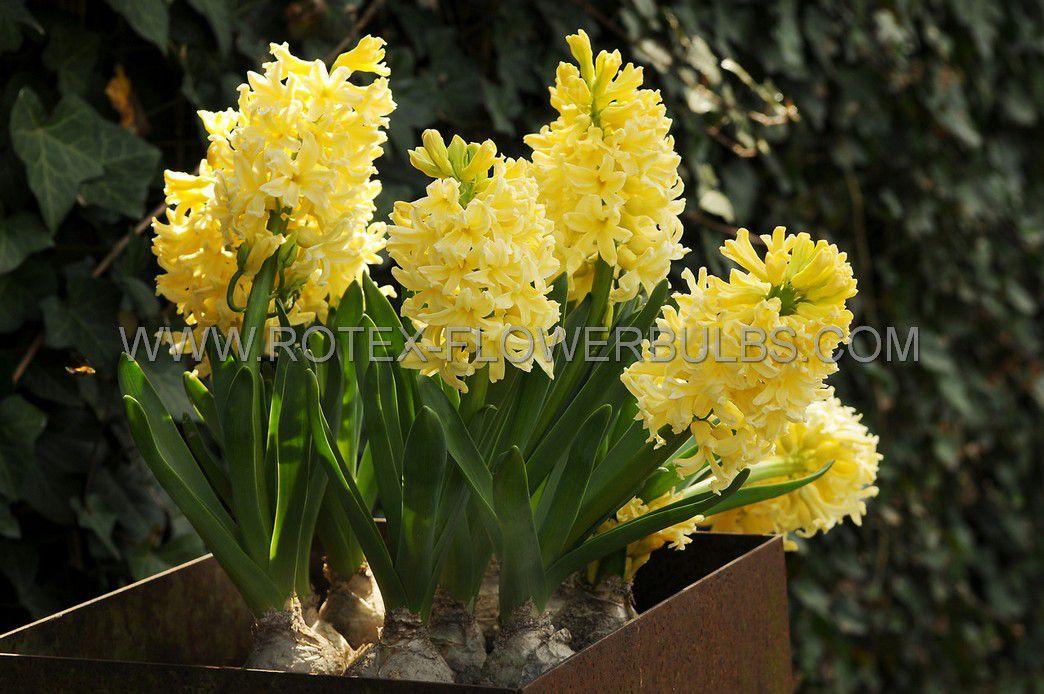 hyacinthus orientalis city of haarlem 1617 cm 50 pbinbox